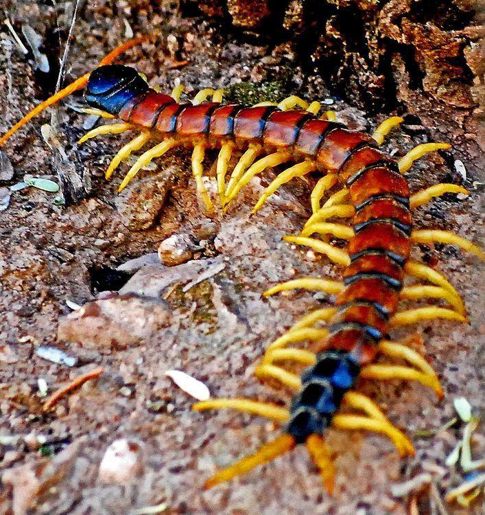 Arizona Giant Centipede Centipedes Arthropods Desert Insects