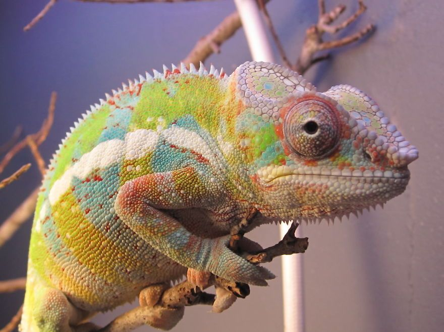Fischer S Chameleon Chameleon Pet Chameleon Veiled Chameleon