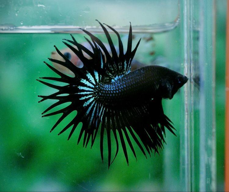 Wow 14 photos of beautiful and stunning bettas fish for Black betta fish