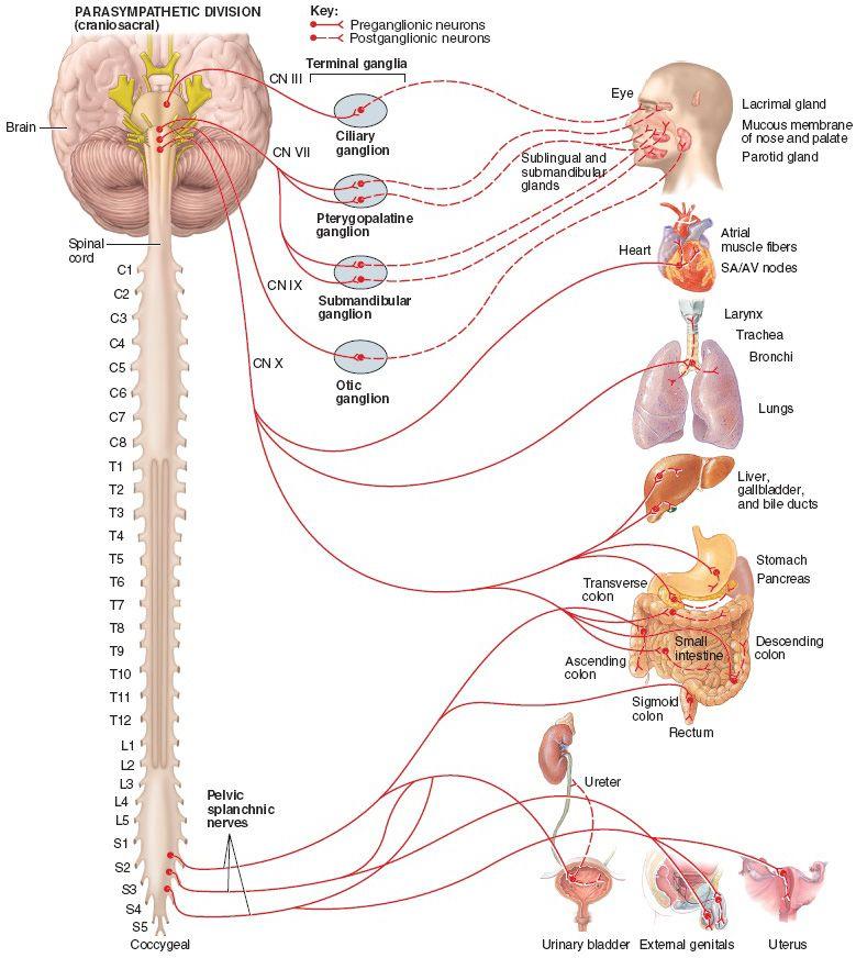 Structure of the parasympathetic division of the autonomic