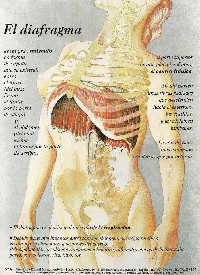 RESPIRACIÓN Y DIAFRAGMA De todos es sabida la función del diafragma ...
