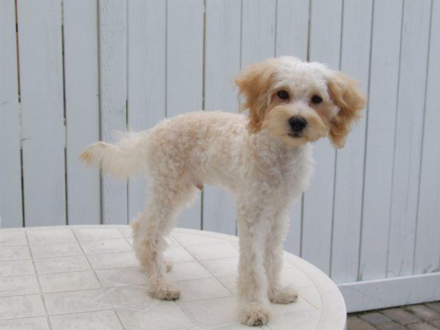 Maltese Poodle Haircuts Maltese Puppies Maltese Dogs Pics