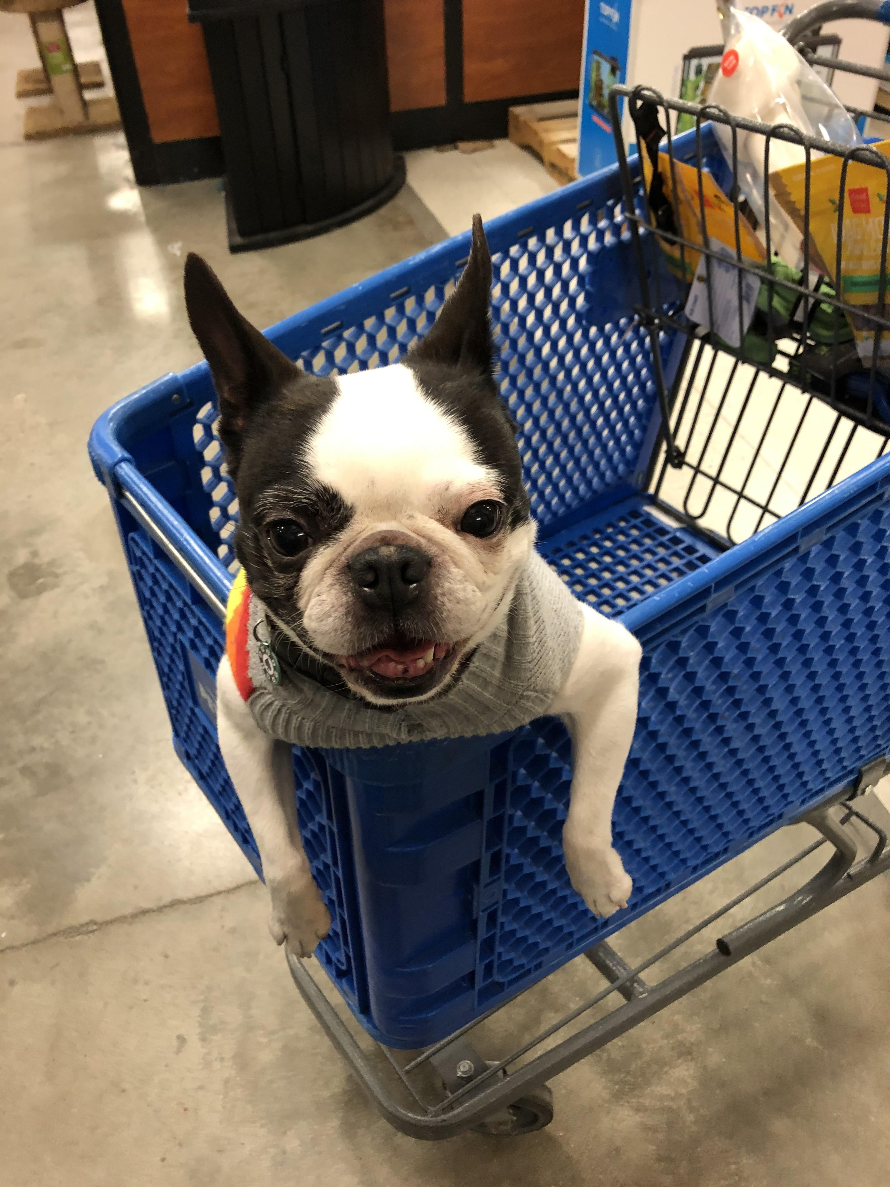 Took Roulette To Petsmart And Ended Up A Great Happy Dog Pic Bostonterrier Bostonterrierpuppy Boston In 2020 Boston Terrier Puppy Boston Terrier Dog Boston Terrier