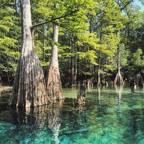 Trees growing out of the fresh Florida Springs. :@madd_holly  Tag #PureFlorida and @PureFlorida to share!