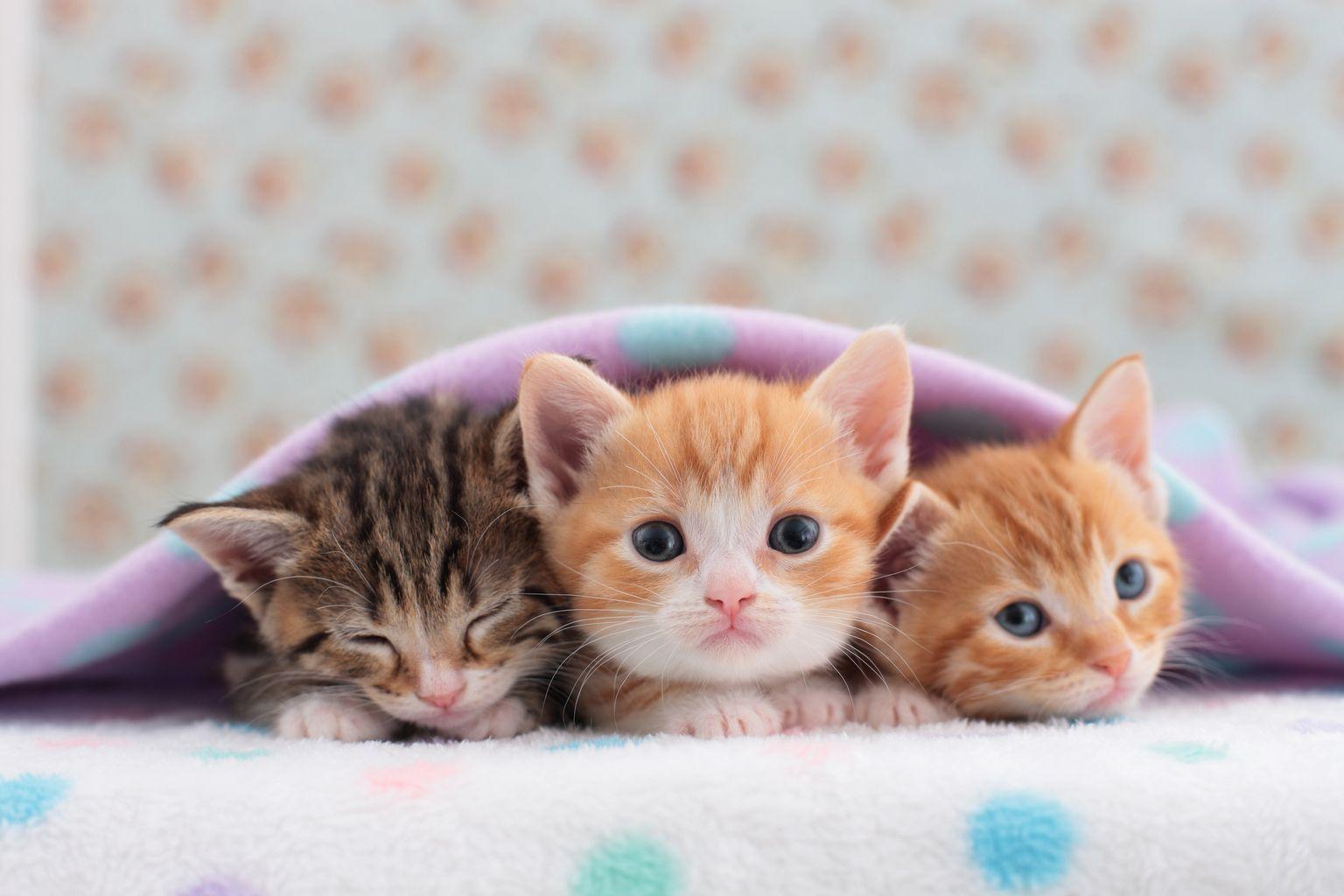 Teddy Cutecats Kittens Cutest Tiny Cats Cute Kitten Gif