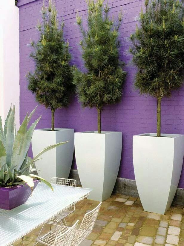 Large White Pots Planted With Evergreen Trees Stand Out Against The Purple  Wall Of This Contemporary Patio.