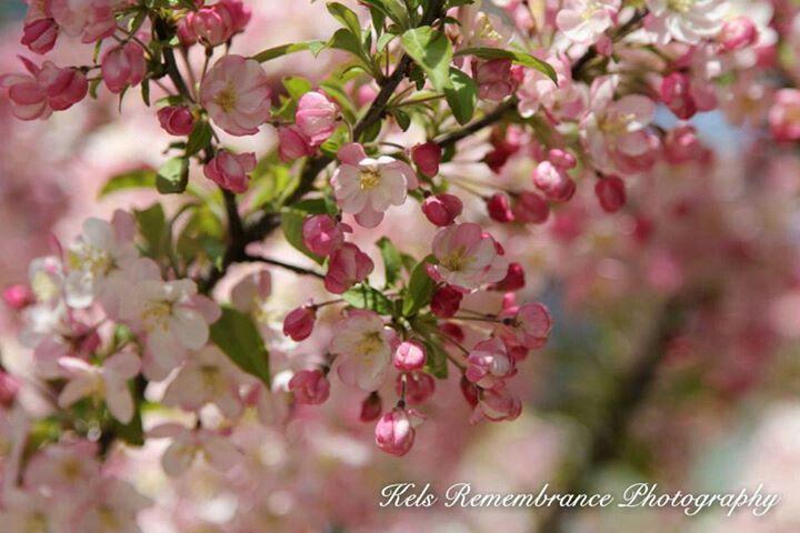 Cherry Blossoms Traverse City Mi Kels Remembrance Photography Blossom Cherry Blossom Michigan Travel