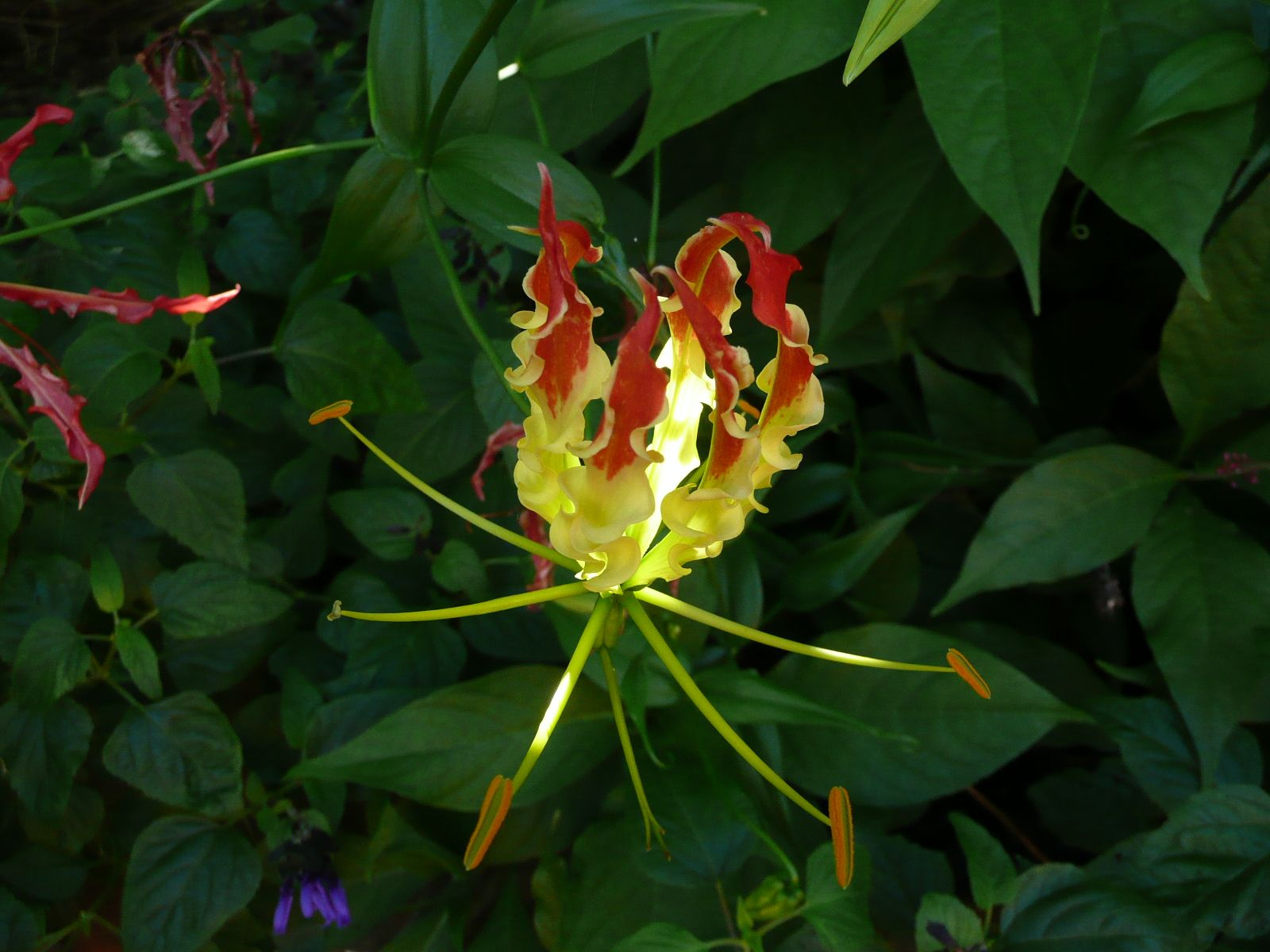 Gloriosa is the state flower of Tamil Nadu. The most