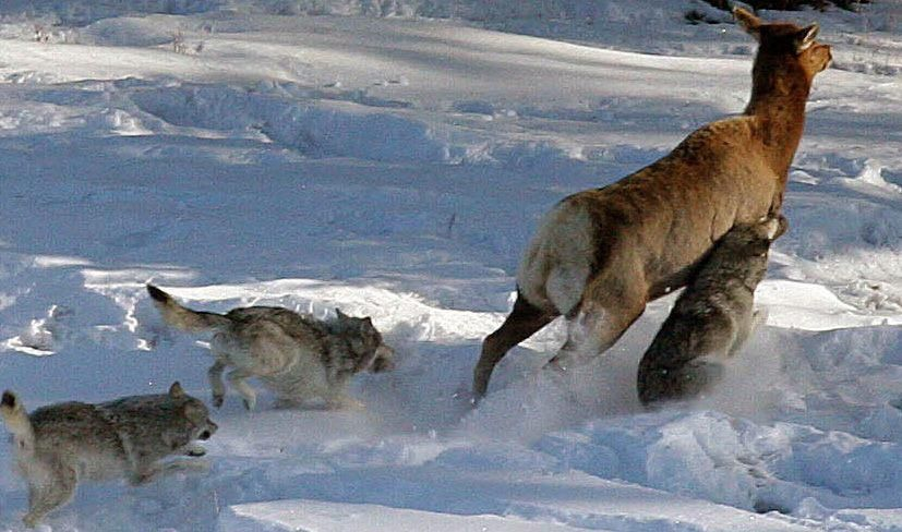 There will be blood... Yellowstone wolves, Wolf photos