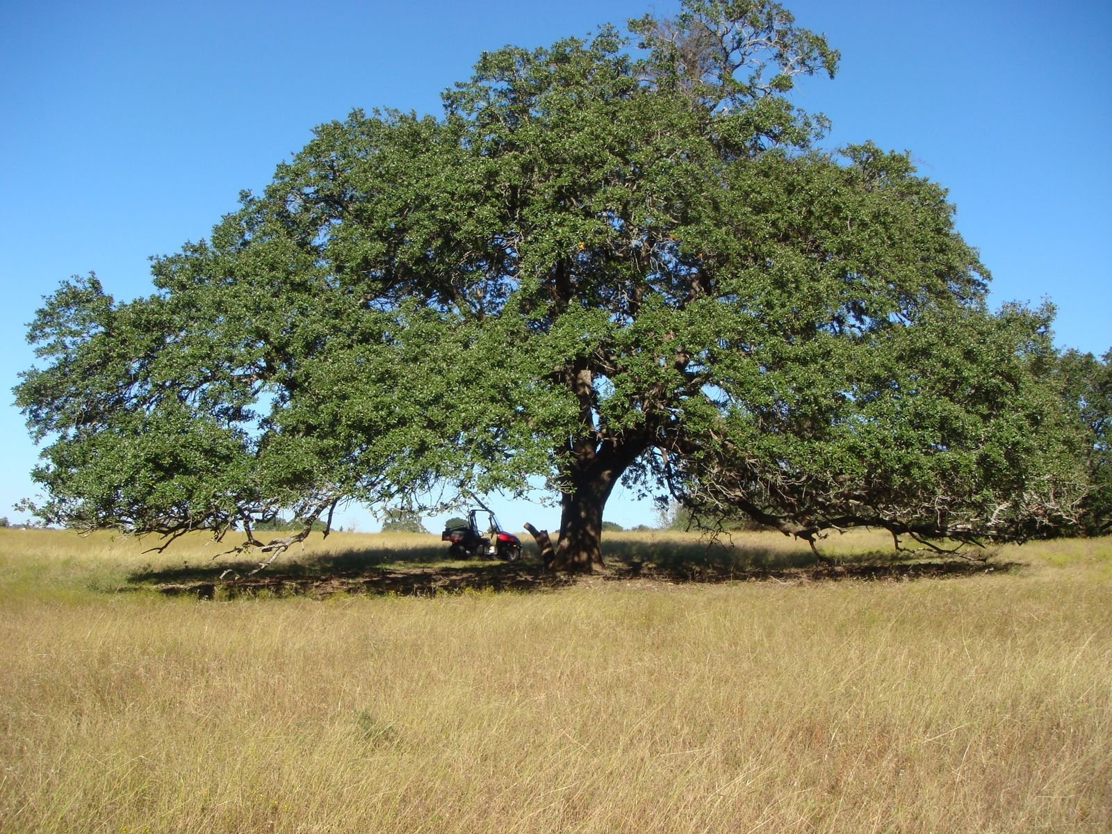 Rose of sharon u2013 pecan trees u2013 sea cane u2013 are old men things oak