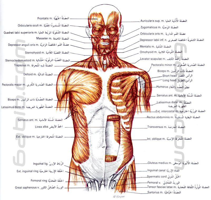صور عضلات الرأس الوجه العنق البطن الصدر و الجذع منظر امامي Dr World Album Humanoid Sketch