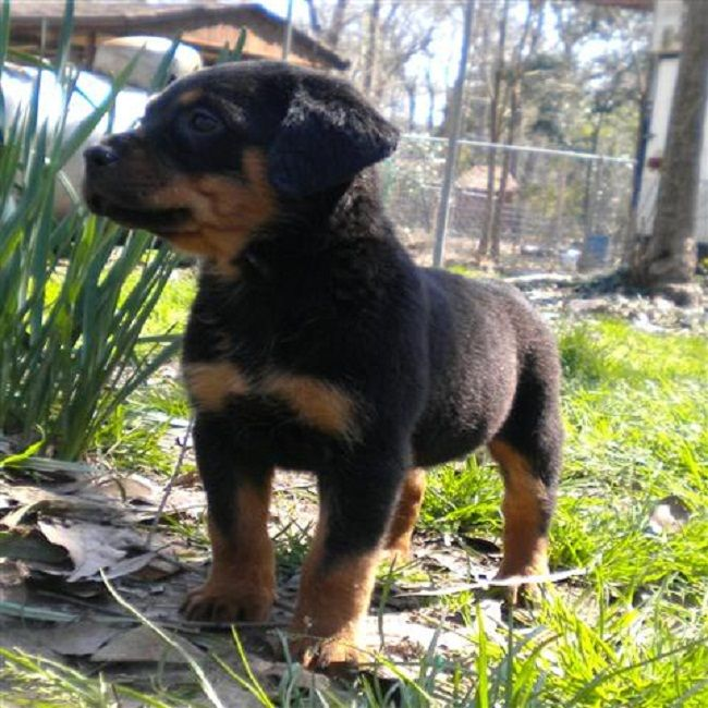 Rottweiler Puppies For Sale In Texas Zoe Fans Blog Cute Baby
