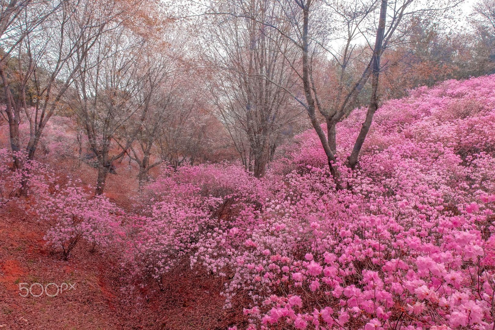 Deamy pink -