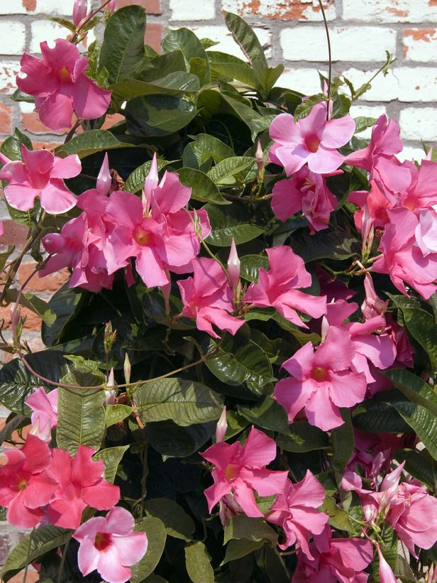 Easy indoor tropicals pink yellow dark red and evergreen mandevilla vine this popular twining vine is laden with blooms from late spring to frost varieties include pink yellow white and dark red plant in full mightylinksfo
