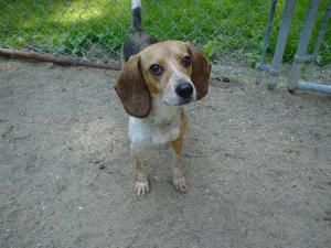 Adopt Jane On Dachshund Mix Beagle Dog Adoptable Beagle