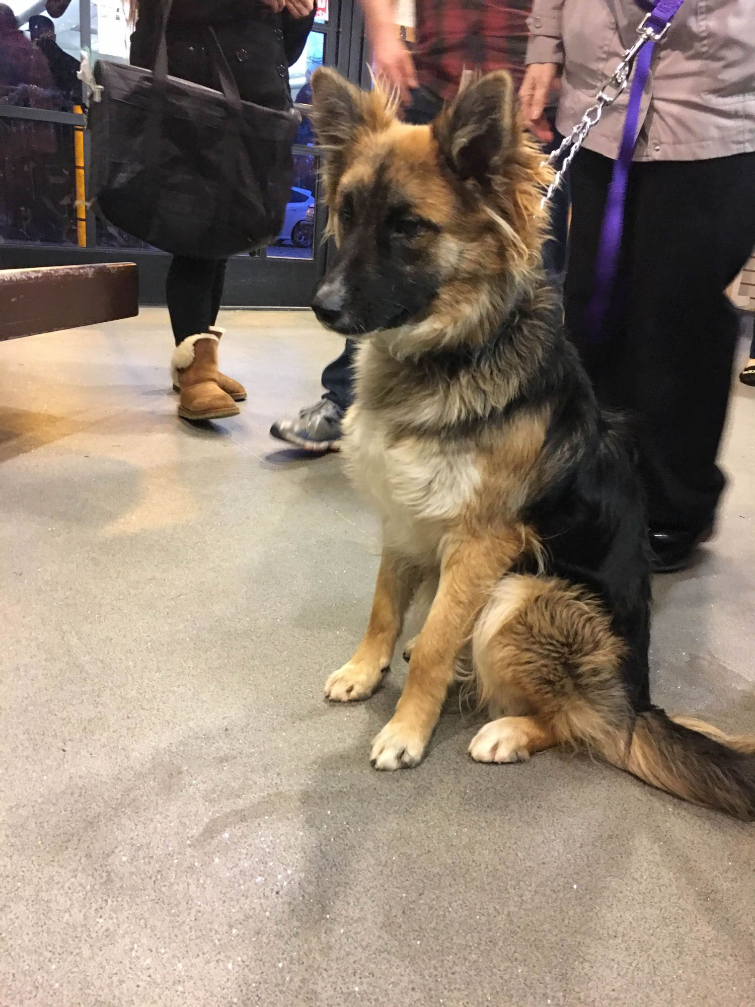 10 Month Old Long Haired Shepherd Jangles Is Now Out Of The