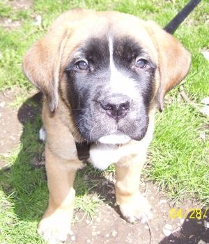 Bowser The St Bernard English Mastiff Hybrid Puppy At 8 Weeks Old