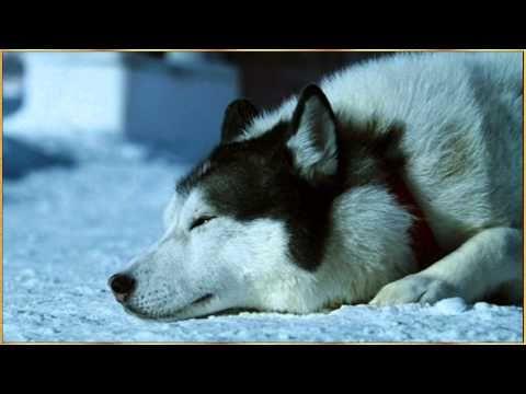 Sibe Husky Lovers Christmas Music Christmas Movies A