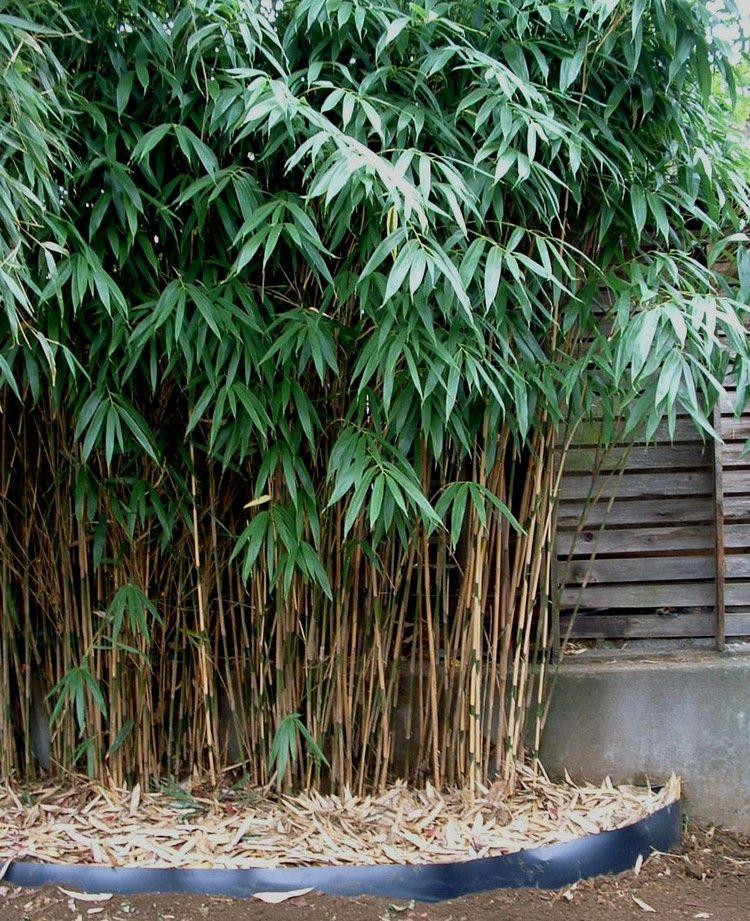 Feng Shui Im Garten feng shui garten pflanzen holz pfeilbambus pseudosasa japanoca