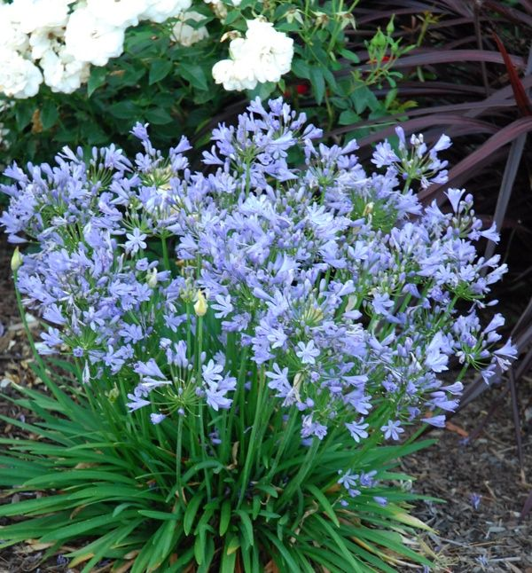 Blue Storm Agapanthus In Full Bloom Perfect Backyard Garden Plant Plants Plants Uk Agapanthus
