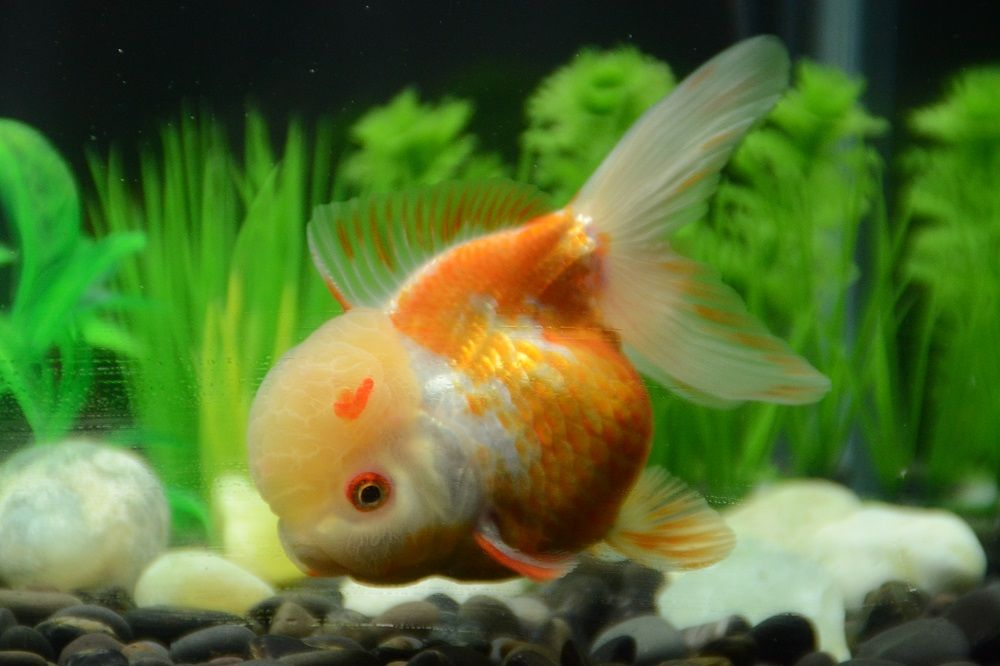 Orange And White Oranda From Buygoldfishonline Com Goldfish Buy Goldfish Fish Pet
