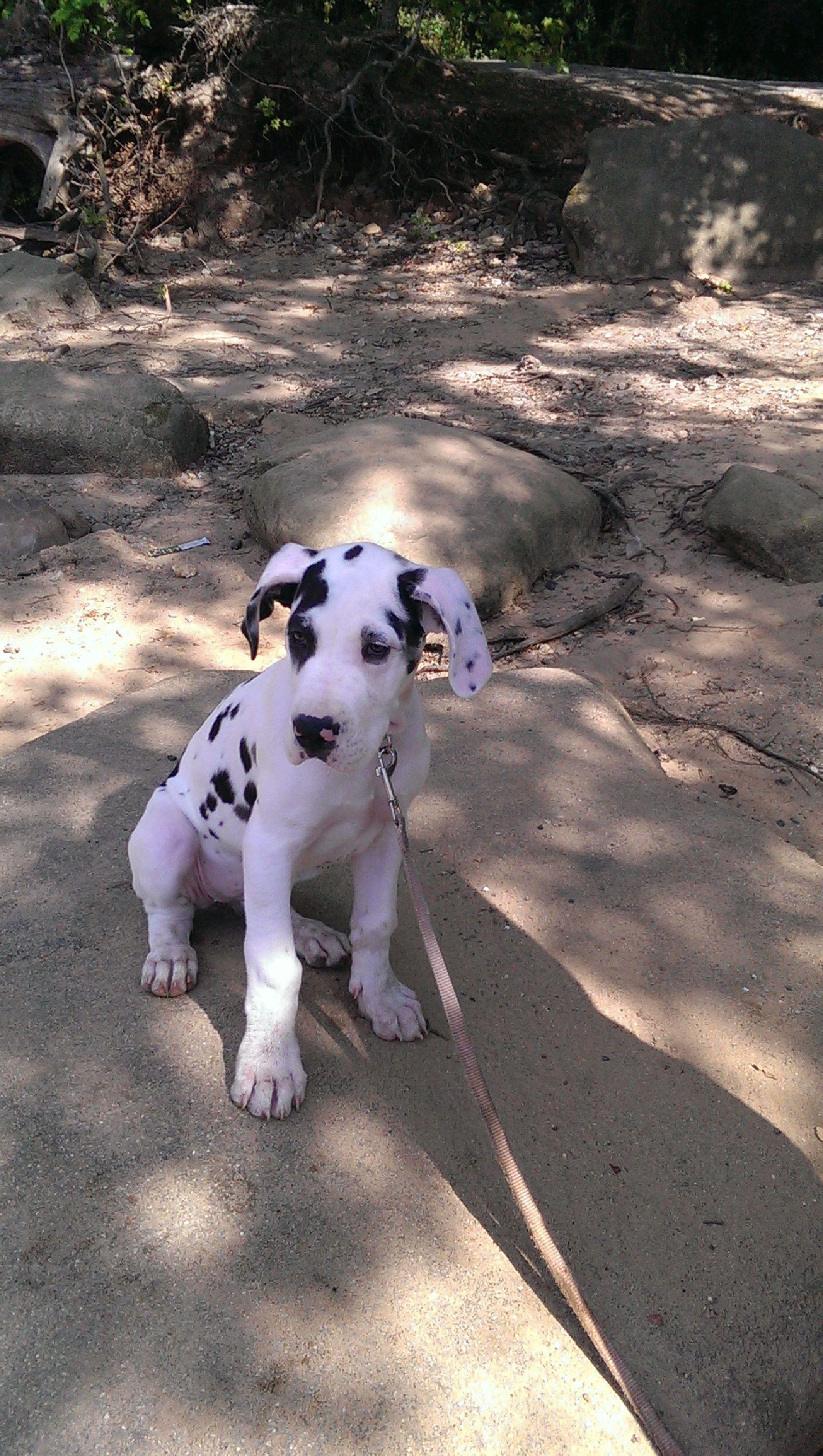 Best Looking Great Dane Dane Pets 3