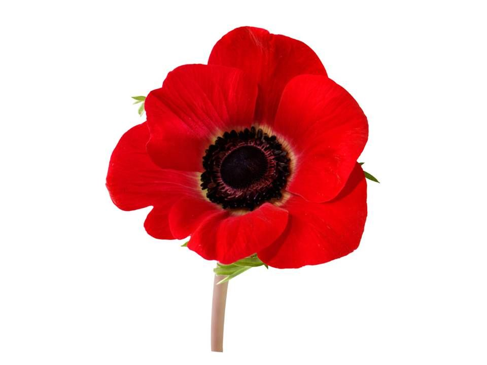 The poppy flower is one of her symbols the goddess demeter the poppy flower is one of her symbols mightylinksfo