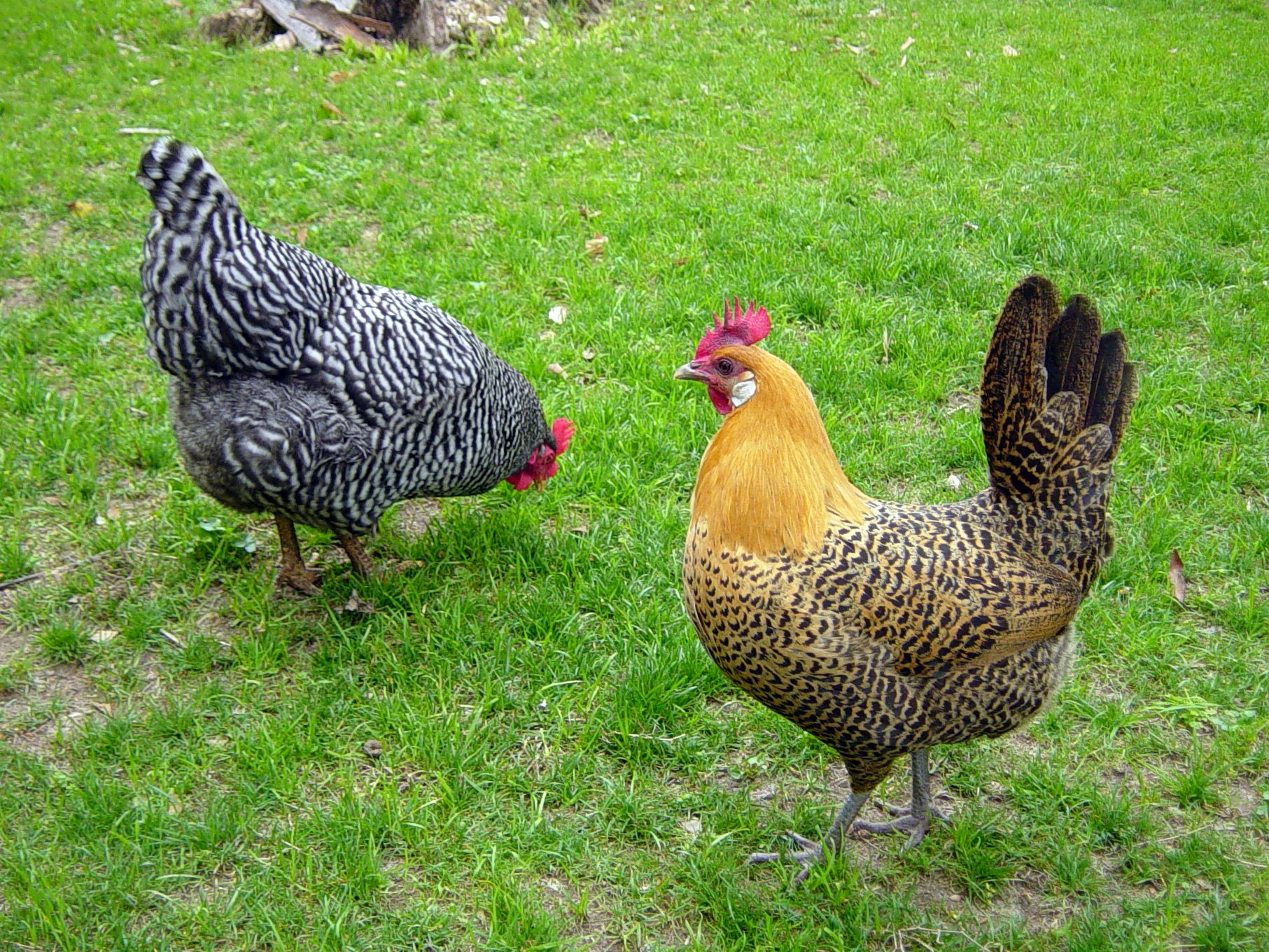 chicken breeds backyard chickens community cannot wait to set up