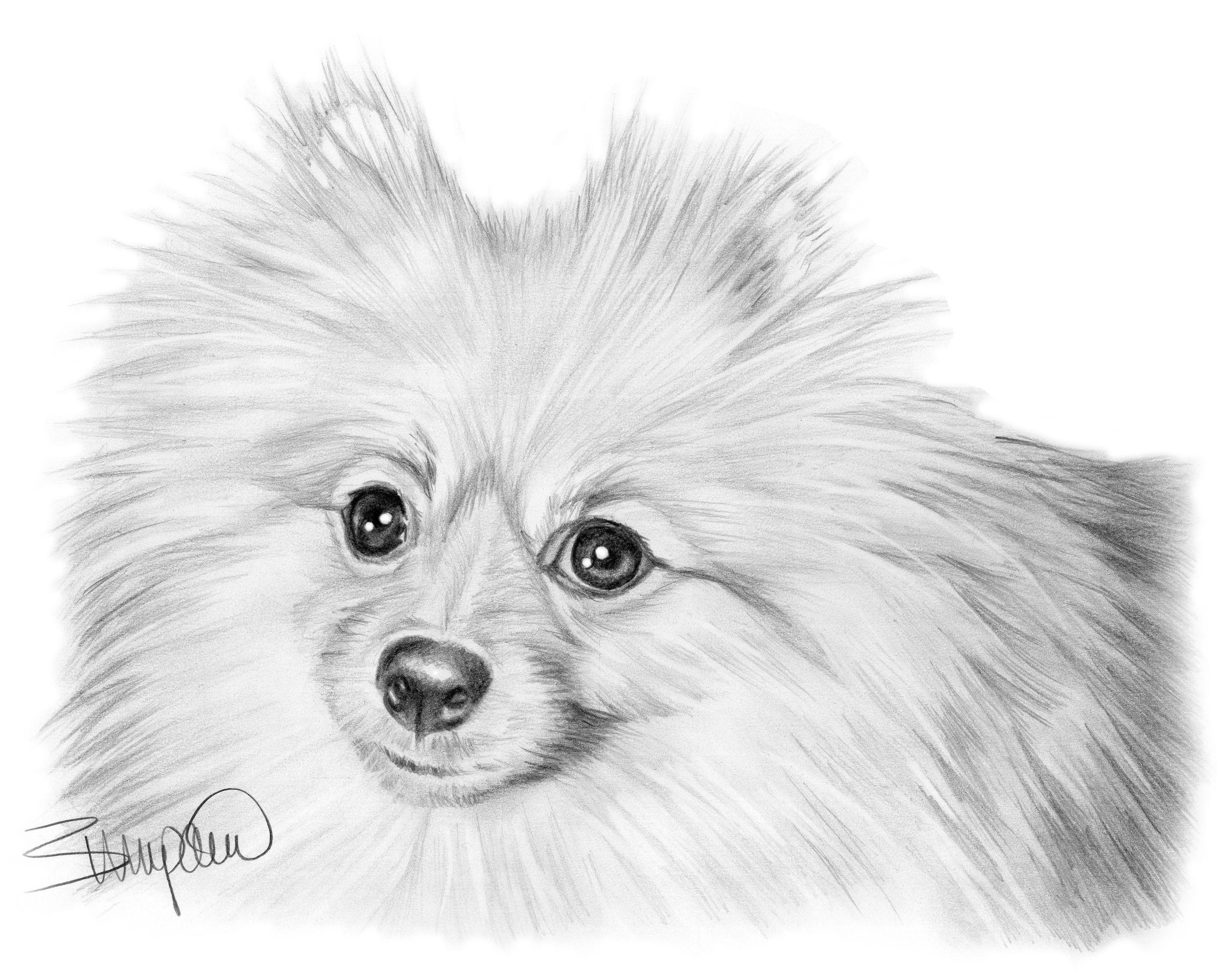 Pencil portrait of pomeranian drawn by Wendy Zumpano www ...