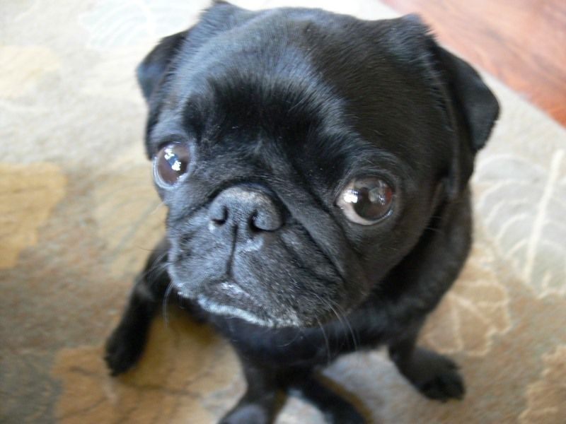 The American Pug Has A Very Specific Ideal Appearance Pug
