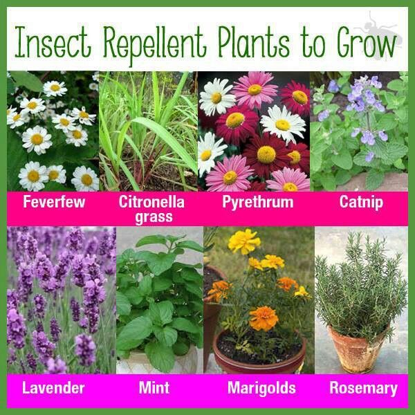 Insect repellent plants to grow my garden pinterest - Natural insect repellent for gardens ...