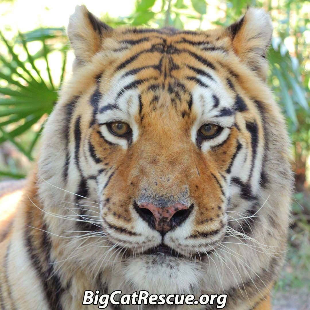 Pin by Jennifer Hutto on Tigers Big cat rescue, Large