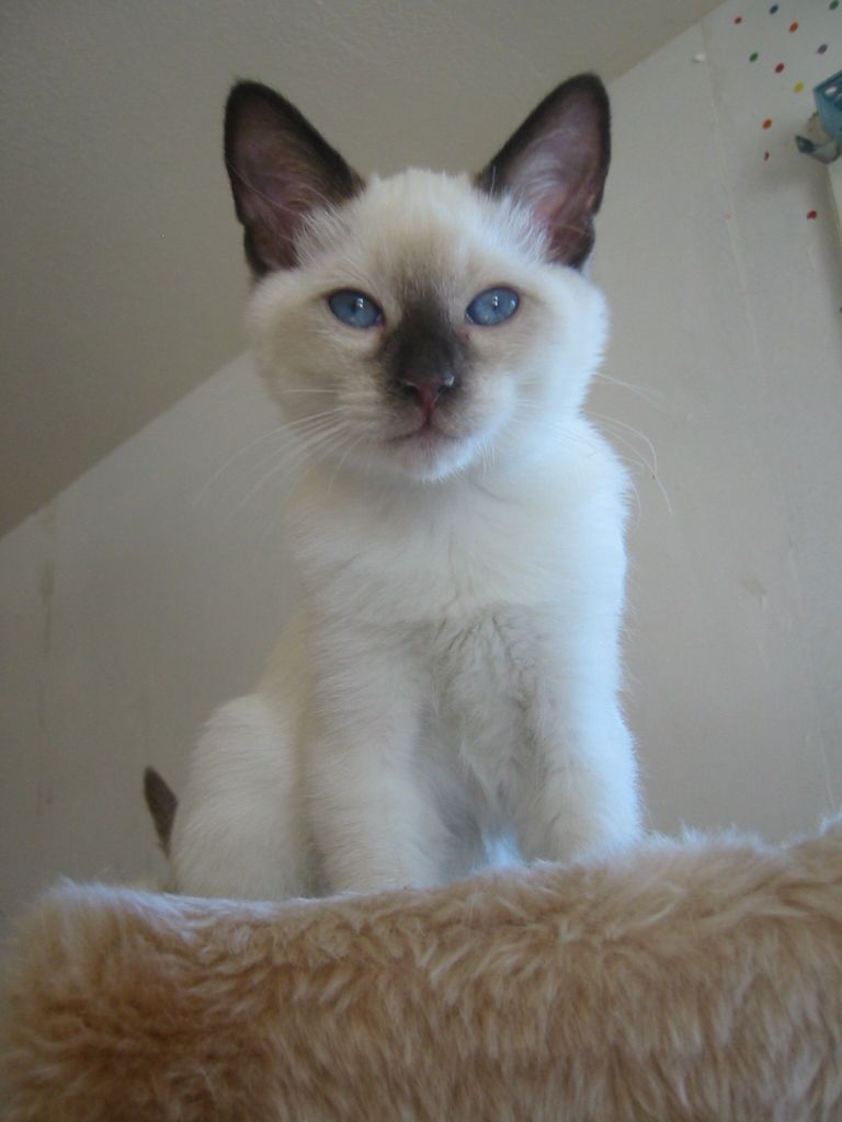 Chocolate Point Siamese Kitten Stormhaven Can Produce All Four