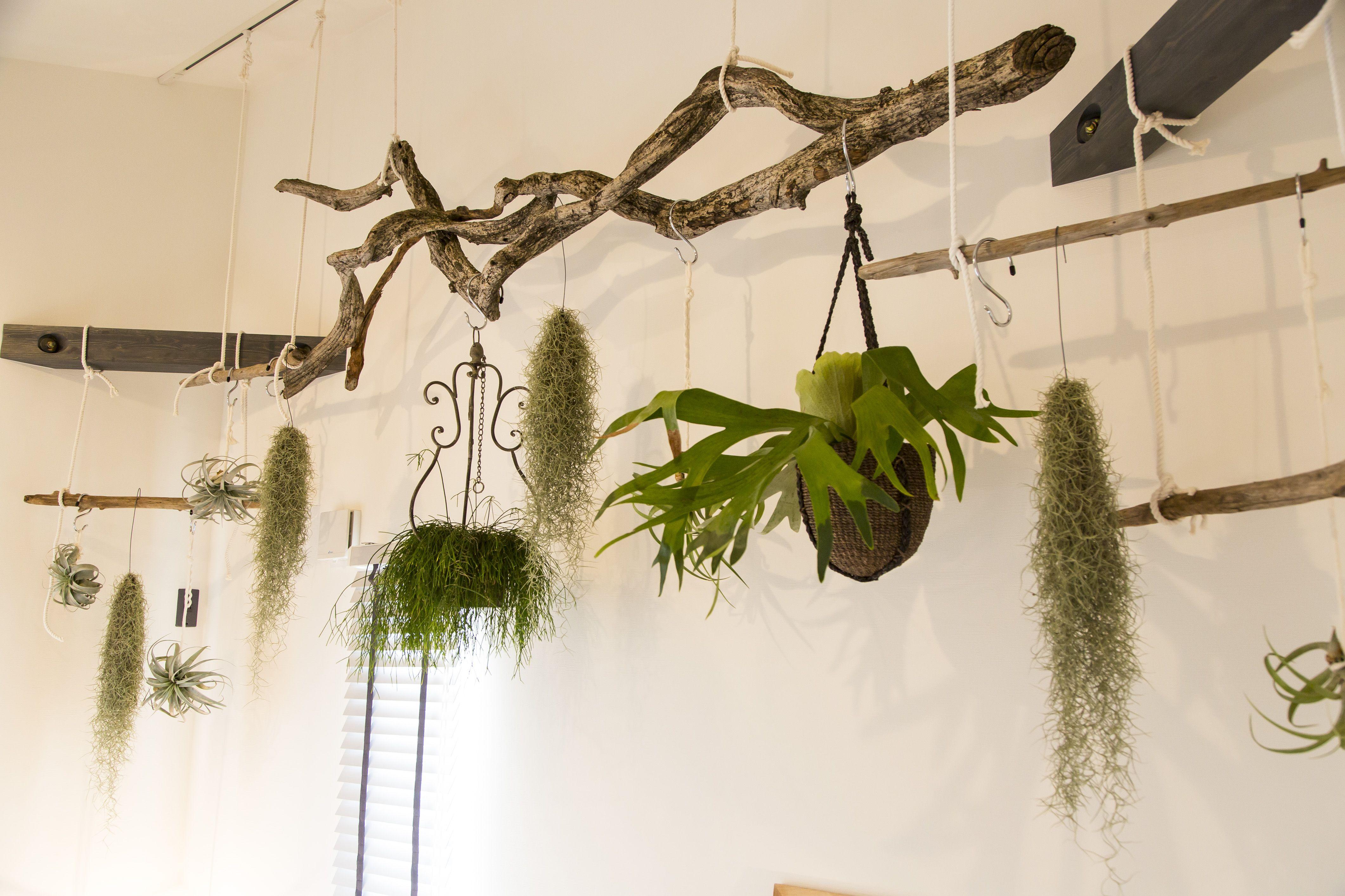 流木インテリア エアープランツ 観葉植物 インテリア実例 Bino播磨