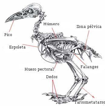 Esqueleto de pajaro | dibujo en 2018 | Pinterest | Pájaro, Jaulas y ...