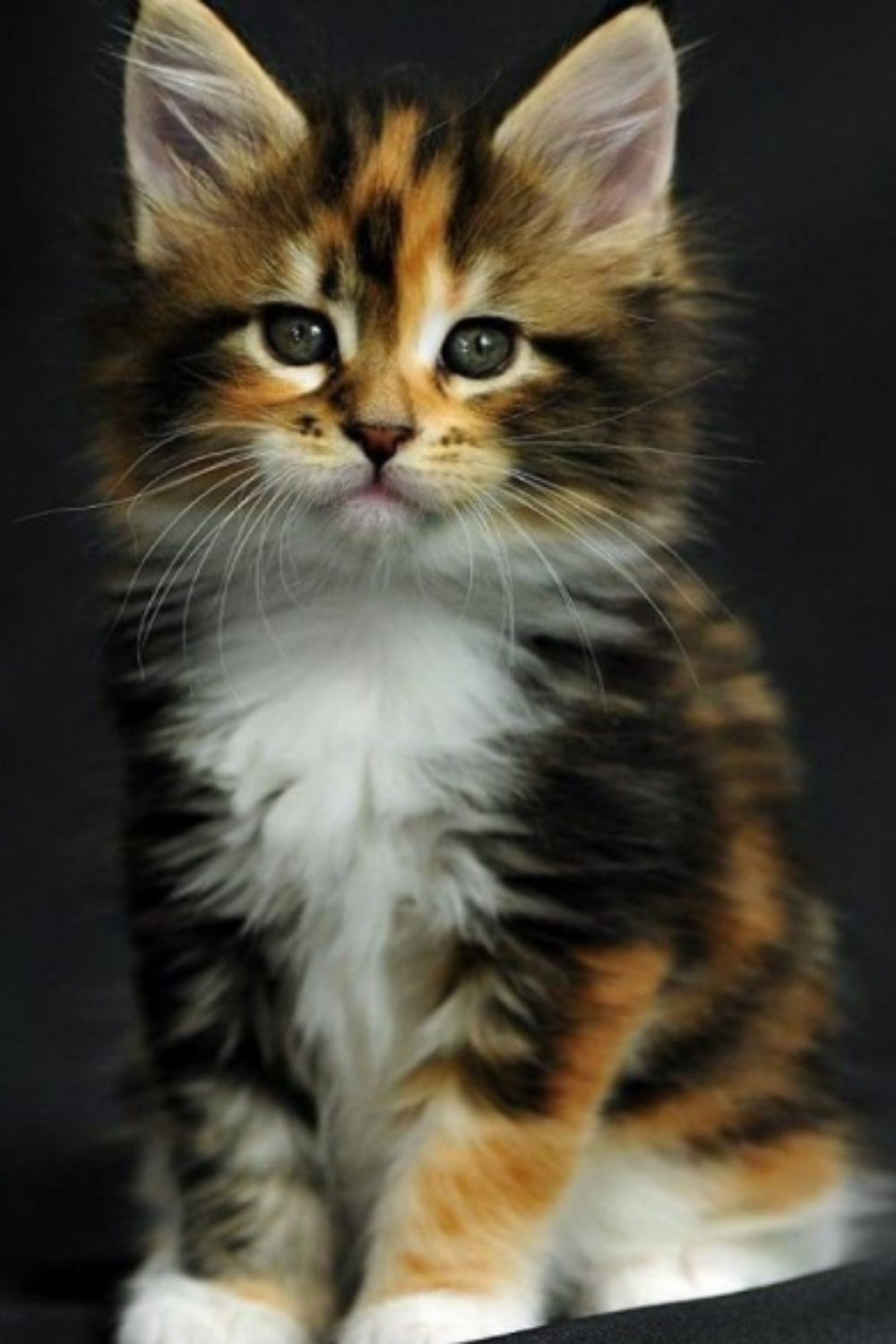 11 Signs Your Cat Is Happy In 2020 Kittens Cutest Pretty Cats Cats