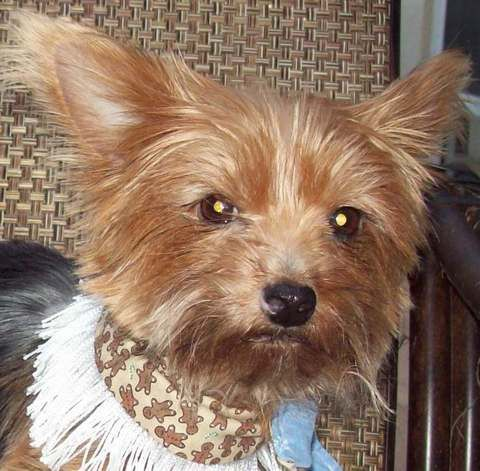 Adopt MacKenzie on   Homeless pets, Yorkshire terrier dog ...