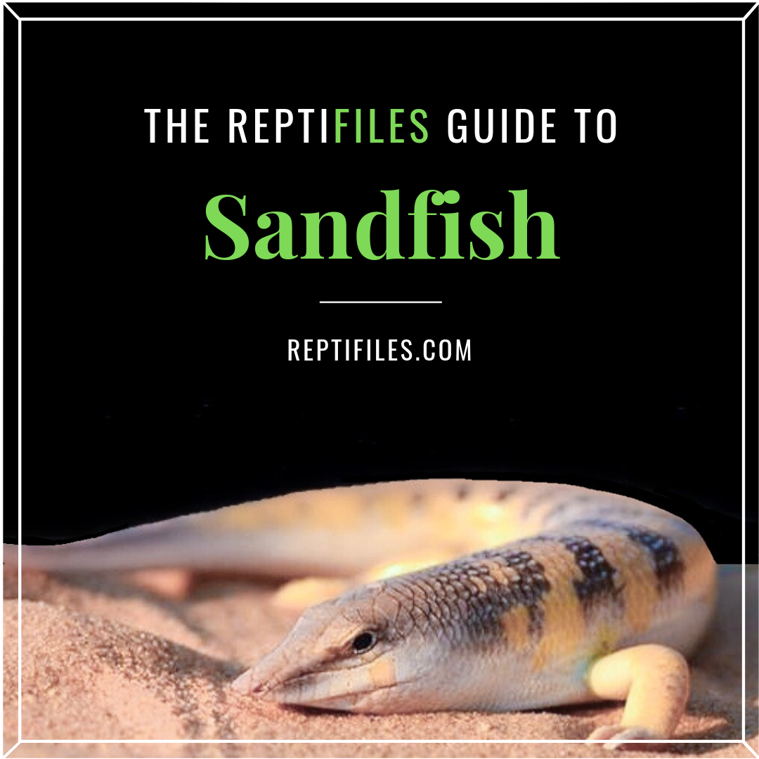 The Ultimate Guide To Sandfish Skinks In 2020 Pets For Sale Easy Walk Dog Harness Little Live Pets