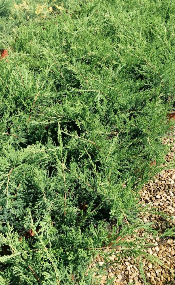 Ll Ginepro Juniperus Horizontalis Green Verde E Pianta Strisciante