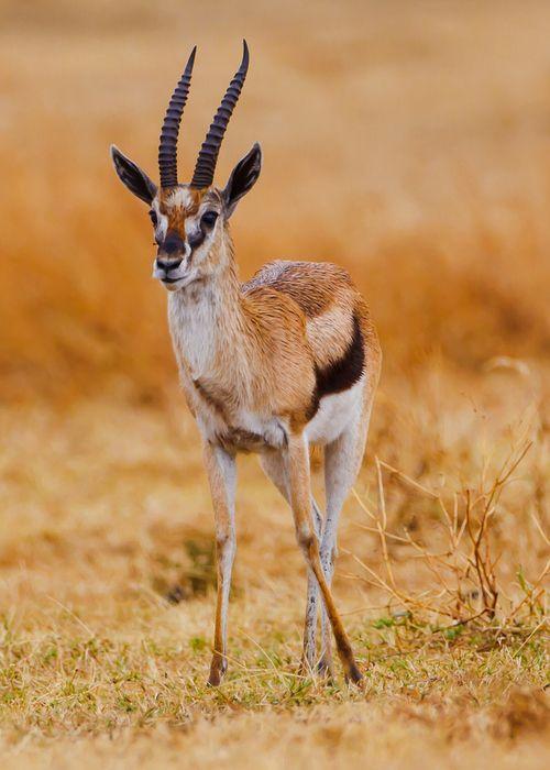 Best 25+ Thomson gazelle ideas on Pinterest | Impala ...