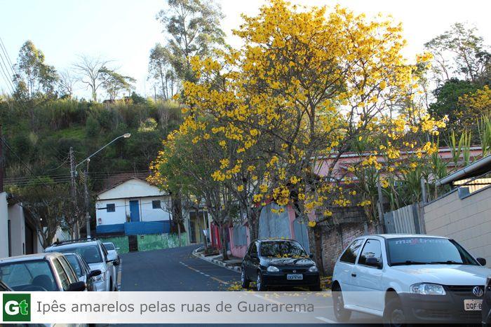Ipês Amarelos em  Guararema-SP #guararema #ipesamarelos #guararematem