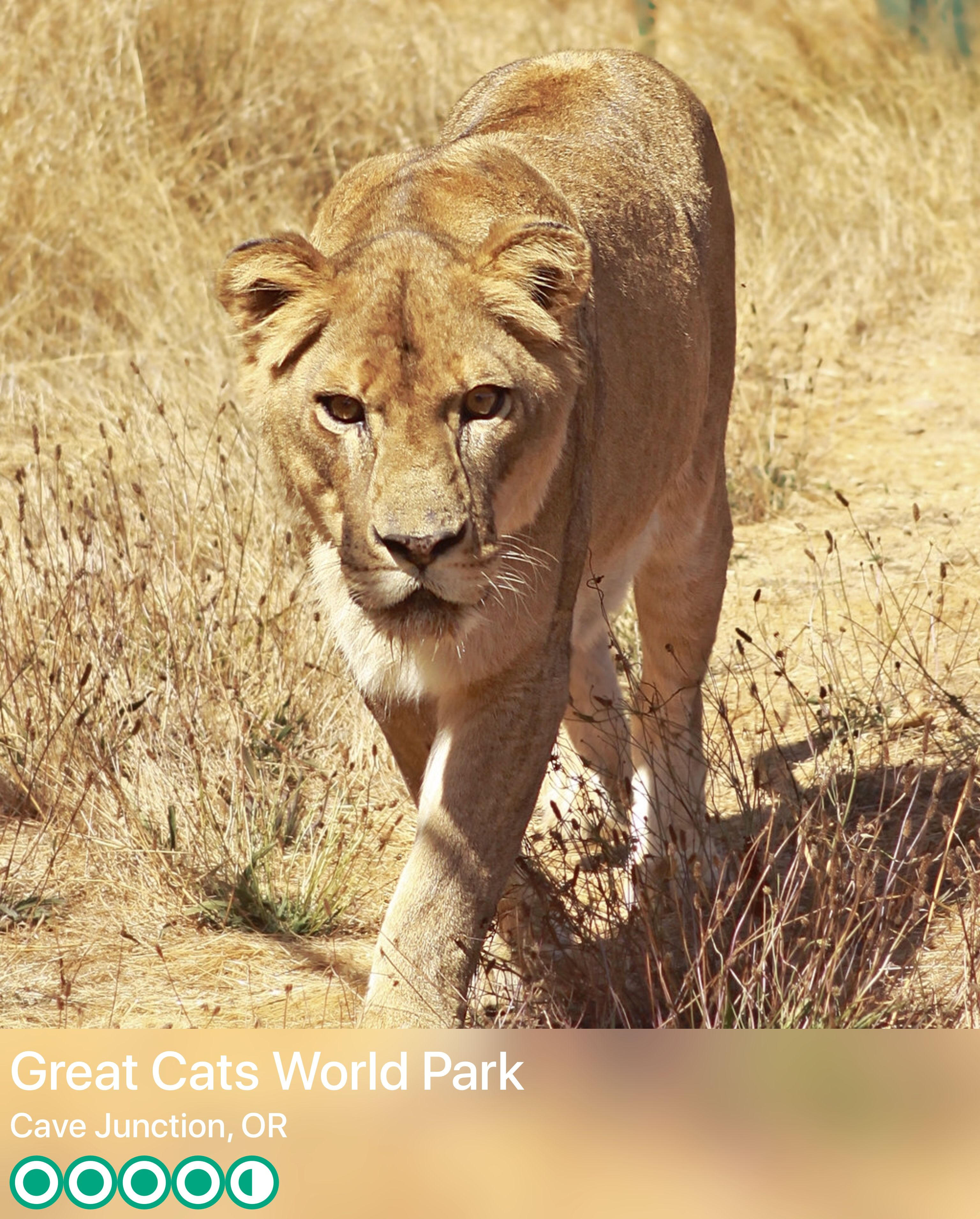 Great Cats Of The World Animal Park Cave Junction Good Reviews Great Cat Cats Animals Of The World