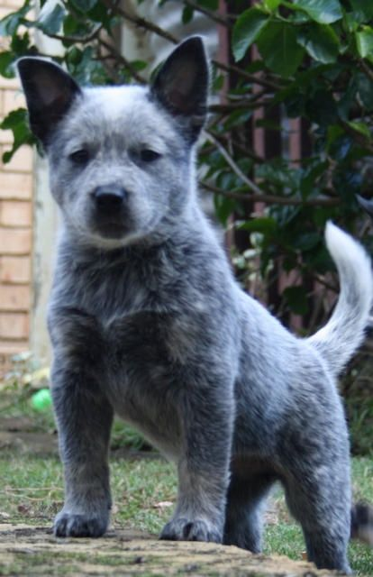 Queensland Blue Heeler Puppy Guarding The Ground Australian