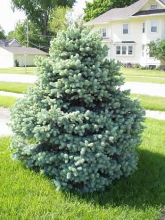 Baby Blue Eyes Spruce Miller Nursery Picea Pungens Colorado Blue Spruce Blue Spruce
