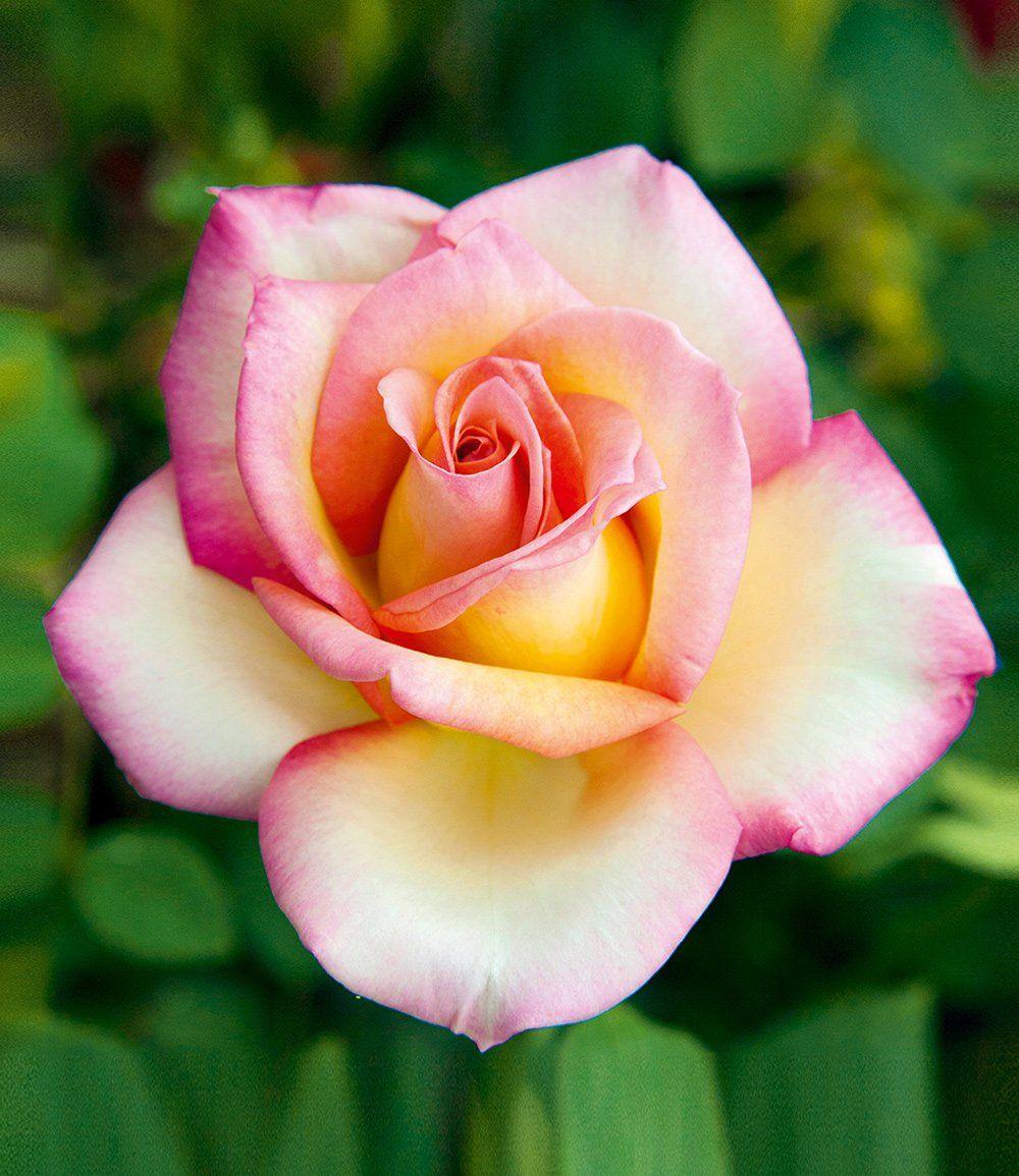 Edelrose Sweet Eureka®: Top-Qualität | BALDUR-Garten | Hoa đẹp ...