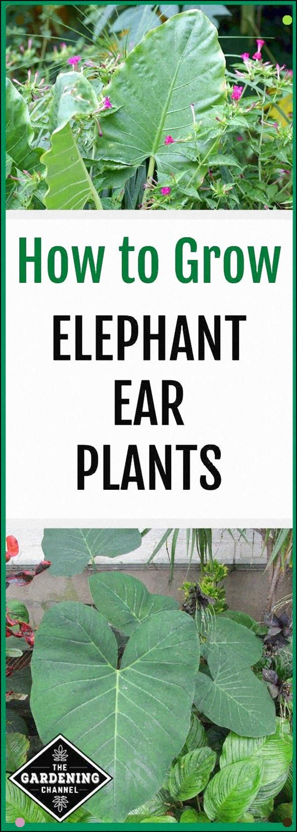 Elephant Ear Plants, Taro, Are Tropical Plants That Like Warm, Moist Conditions. It very well may Be Grown Year-Round In Southern Climates And Indoors As A Houseplant In The Winter In Northern Areas. #elephantearsandtropicals