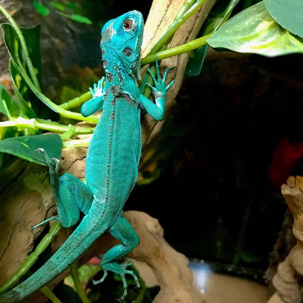 Baby Blue Iguana For Sale Online Where To Buy Blue Iguanas For Sale Near Me From The Best Blue Iguana Breeders Of Pet Baby B Iguana Pet Iguana For Sale Iguana