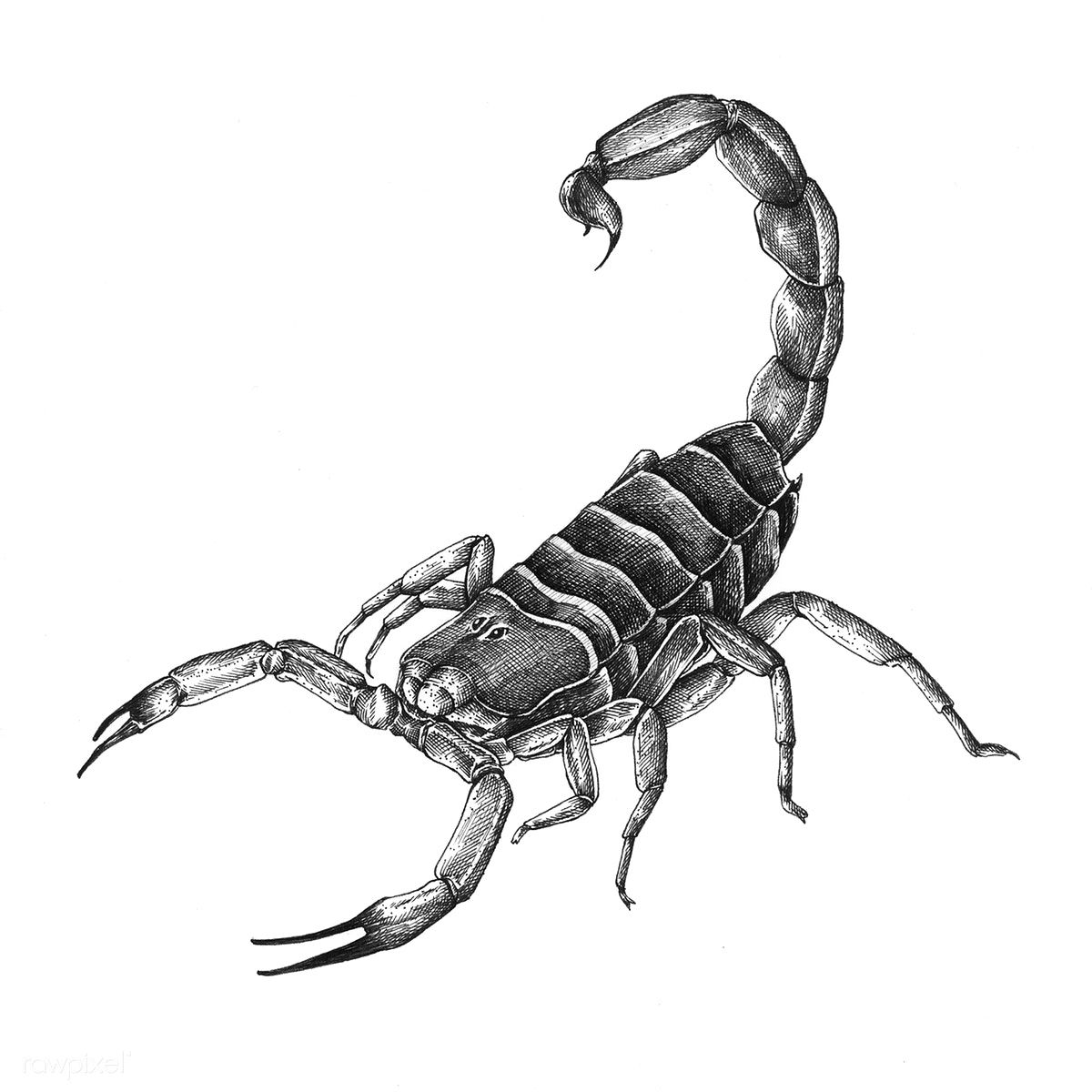 Hand drawn scorpion isolated on background | free image by rawpixel.com Vẽ Tay,