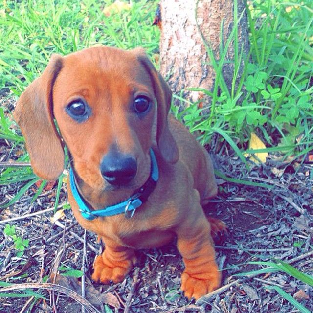 Adorable Dachshund Puppy Love Those Little Wrinkled Legs