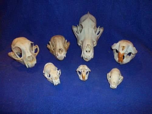 Daily Limit Exceeded Animal Bones Real Animal Bone Animals